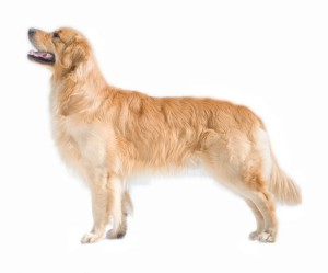 Golden Retriever Deckrüden