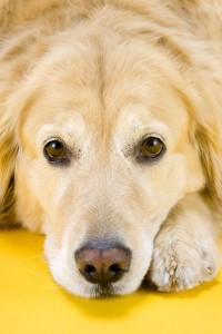 Golden Retriever Pflege: Augen