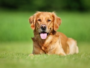 Golden Retriever Erbkrankheiten