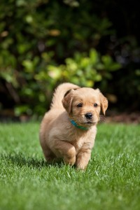 Golden Retriever Hund