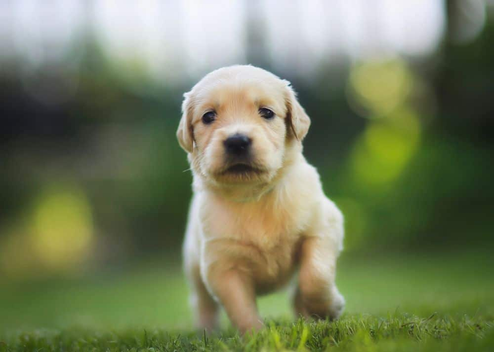 Golden Retriever Hunde