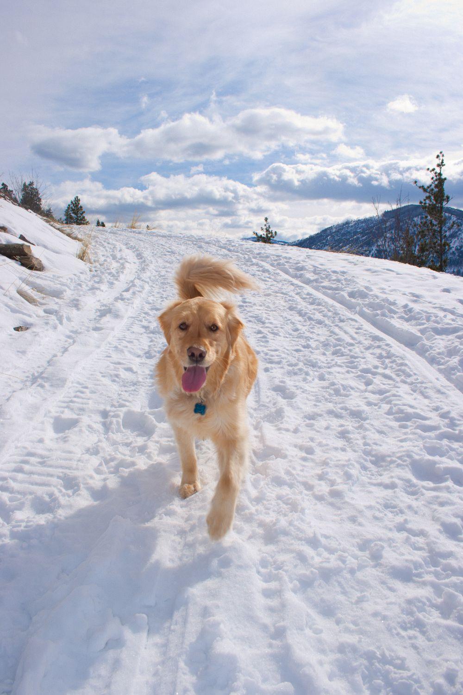 Golden Retriever Schnee Streusalz