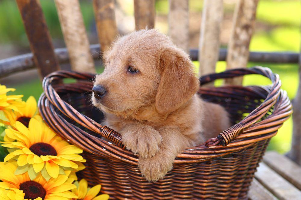 Ich will einen Golden Retriever kaufen