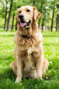 Steckbrief Golden Retriever