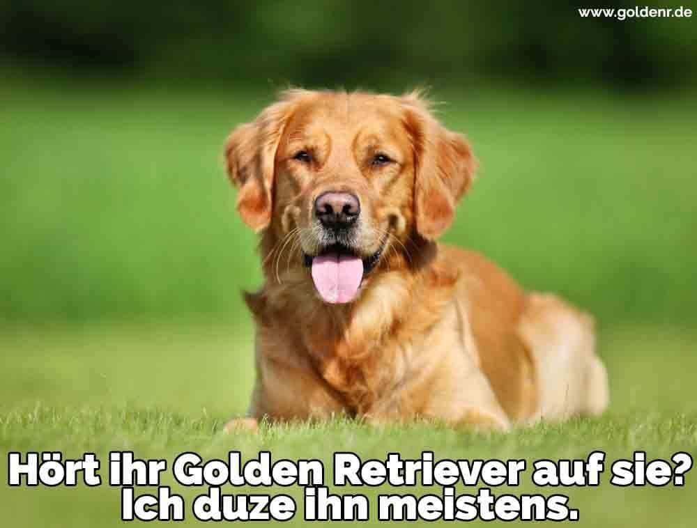 Ein Golden Retriever liegend auf dem Rasen