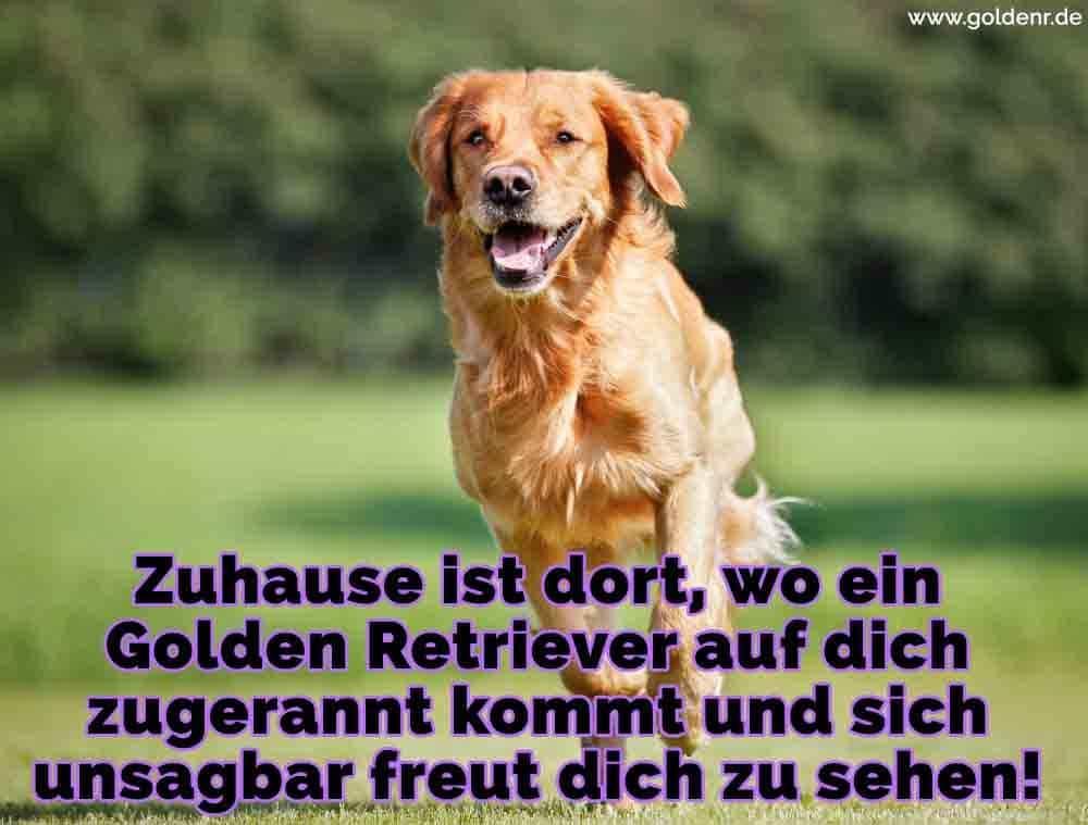 Ein Golden aRetriever rennen