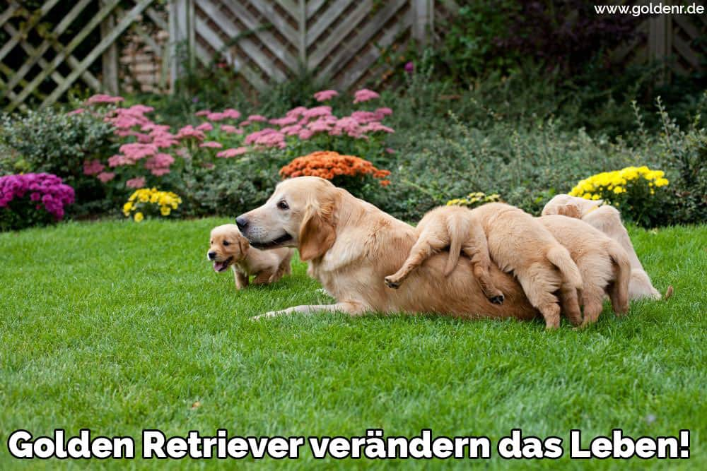 Ein Golden Retriever Familie