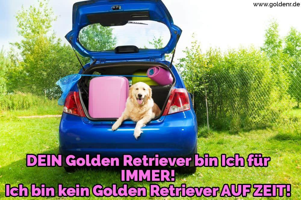Ein Golden Retriever Taschen Autotür