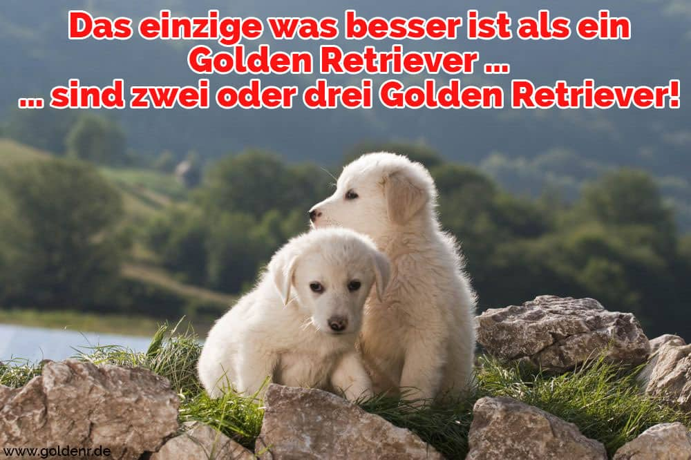 Zwei Golden Retrievers