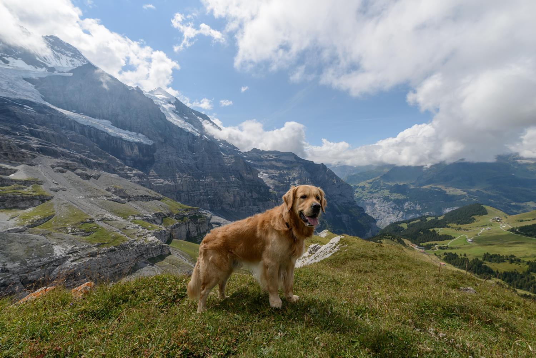 Golden Retriever Zuchter In Der Schweiz