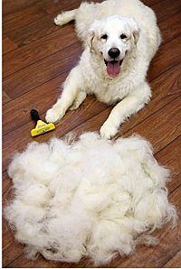 Haarpflege Golden Retriever